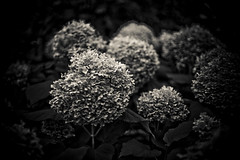Hortensien (crosathorian) Tags: nature garden natur garten canonef5014usm blende14