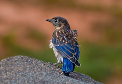 Blow Dry (NatureWalk) Tags: blue roof baby bird searchthebest wind bokeh feathers young bluebird avian damp