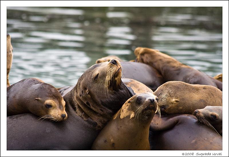 Sea Lions - 1s