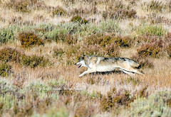 Running Wolf chasing elk  in Yellowstone (Daryl L. Hunter - Hole Picture Photo Safaris) Tags: hunting yellowstonenationalpark yellowstone prey pursuit carnivore wolfpack endangeredspecies runningwolf yellowstonewolves chasingelk canyonpack swanflats
