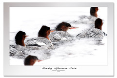 Sunday Afternoon Swim (Imapix) Tags: nature animal photo duck photographie canard gaetanbourque becscie vosplusbellesphotos imapixphotography gatanbourquephotography