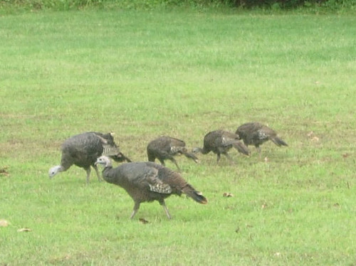 Wild Turkeys zoom