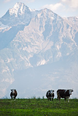 Cows (Daniele Sartori) Tags: italy mountains alps field montagne becca cow nikon europa europe italia cows valle pasture valley campo mucca alpi aosta valledaosta mucche pascolo aostavalley monteemilius d80 beccadinona nikond80 emilius