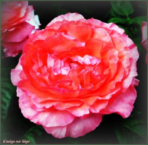 Pink 2008 - una rosa per Maria!