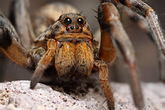 female wolf spider (Mundo Poco) Tags: macro canon spider arachnid wolfspider focusstack mpe65mm eos450d lycosid rebelxsi