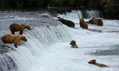 Group Shot at Brooks Falls (Scott Michaels) Tags: bear usa brown nature alaska nationalpark nikon feeding wildlife bears group salmon coastal spawn six discovery animalplanet ursus nationalgeographic brownbear salmonrun ursusarctos potofgold brooksfalls katmai brooksriver d40 katmainationalpark beautyofnature nikkor70300vr nikon70300mmvr naturespotofgold adventuredimension spiritualtothesenses