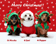 We Wish You a Merry Christmas! (geckoam) Tags: christmas pepper hotdog holidays dachshund wiener mocha levi santaclaus piebald wienerdog dackel teckel doxie santaclaws christmasdog dogsanta christmaselves dogelves christmasdachshunds holidaydachshunds