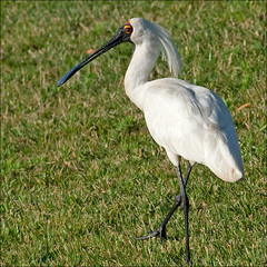 Royal Spoonbill (aaardvaark) Tags: australia kingston canberra act naturesfinest royalspoonbill platalearegia norgrovepark veryurbanminiaturewetlandpark 200812200618rospnorgrovepark