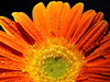 sunshine (raffaphoto©) Tags: orange flower sunshine yellow drops