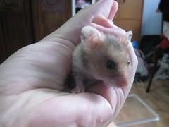 IMG_1742 ([bakaWOOFY]) Tags: hamsters