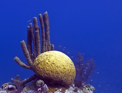 Corals of the Great Blue Hole in Belize (jayhem) Tags: ocean blue water coral nikon underwater hole belize diving cc freediving creativecommons caribbean d200 bluehole coralreef tubecoral atoll boxfish braincoral skindiving trunkfish lighthousereef ccby greatbluehole