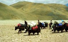 The Company (reurinkjan) Tags: 2002 yak nikon tibet everest dri tingri jomolangma tibetanlandscape lammala janreurink norrdzi བོད། བོད་ལྗོངས།