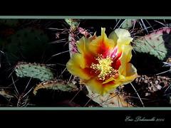 Cactus Flower (The Delaruelles) Tags: nature musictomyeyes flickrbronze ultimategold rainofflowers arealgem thebestflowershots fotocompetition fotocompetitionbronze theflowersofflickr naturegreenstar theflowerbasket natureisall