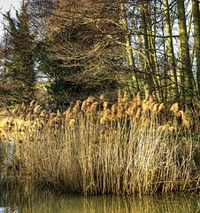England: Bedfordshire Wetlands. Winter Reeds (Tim Blessed) Tags: uk nature water reeds landscape countryside scenery lakes wetlands ponds goldenheart singlerawtonemapped goldenheartaward