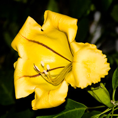 BS553.114 Golden Chalice Vine (listentoreason) Tags: usa plant flower color nature yellow closeup america canon unitedstates pennsylvania favorites places longwoodgardens floweringplant solanaceae angiospermae dicot solandra magnoliophyta magnoliopsida angiosperm ef28135mmf3556isusm score25 solanales cupofgold hawaiianlily eudicot goldenchalicevine eudicotyledon