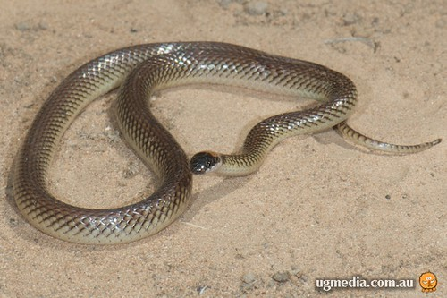 Red-naped snake (Furina diadema)