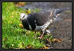 Wonga Pigeon, Lamington NP, 3.1.09 (Tobias Hayashi Photography) Tags: green bird grey rainforest pigeon dove australia qld habitat tame picnictables lamingtonnp wonga wongapigeon leucosarciamelanoleuca seqld sigma50500mmf463 canoneos40d laucosarciamelanoleuca