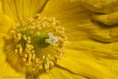 Yellow Poppy (jonbradbury) Tags: flower macro yellow derbyshire 100mm stamen poppy april 580ex chesterfield 2010 canoneos30d canonef100mmf28macrousm strobist jonbradbury jonbradburycom oce3