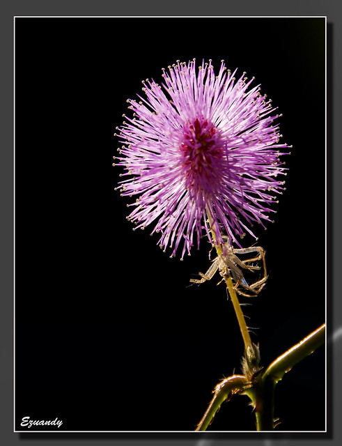Mimosa Pudica & dead Spider