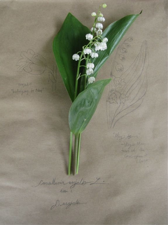 lily of the valley botanical diagram 001