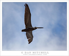 Pelican Against Blue Sky (G Dan Mitchell) Tags: ocean california above park blue sea sky usa bird beach nature fog clouds creek coast fly big wings state pacific wildlife low stock flight feathers pelican basin shore underside northamerica overhead clearing waddell pelagic