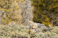 Coyote - (April 2011) (Malcolm Benn) Tags: coyote usa wildlife yellowstone wyoming 2011 mgbenn malcolmbenn
