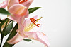 Lilium Orientalis (kozumel) Tags: plant flower planta nikon lily flor lirio oriental lilium liliumorientalis kozumel camiloruedalopez camera:brand=nikon flickr:user=kozumel flickr:user=42962212n00 nikond7000 twitter:user=kozumel lastfm:user=kozumel web:site=kozumelinfo camera:manufacturer=nikon flickr:userid=42962212n00 twitter:username=kozumel dopplr:traveller=kozumel flickr:userid=kozumel liriooriental orientallirium