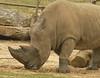 Rhino  - Tulsa Zoo