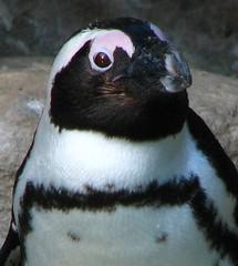 Pinguin_10 (Glatze mit Kamera) Tags: animals canon germany zoo tiere powershot münster s5 allwetterzoomünster allwetter canonpowershots5is s5is torstenhofmann thofmann