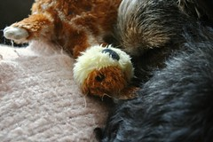 Asleep with inatimate object. (top pocket man) Tags: sleeping dog stuffedtoy puppy toy close giraffe baxter bt borderterrier