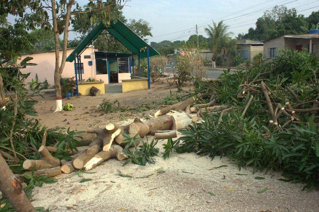 mango tree down