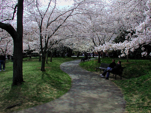 Cherry Blossoms Lining a path to the FDR Memorial
