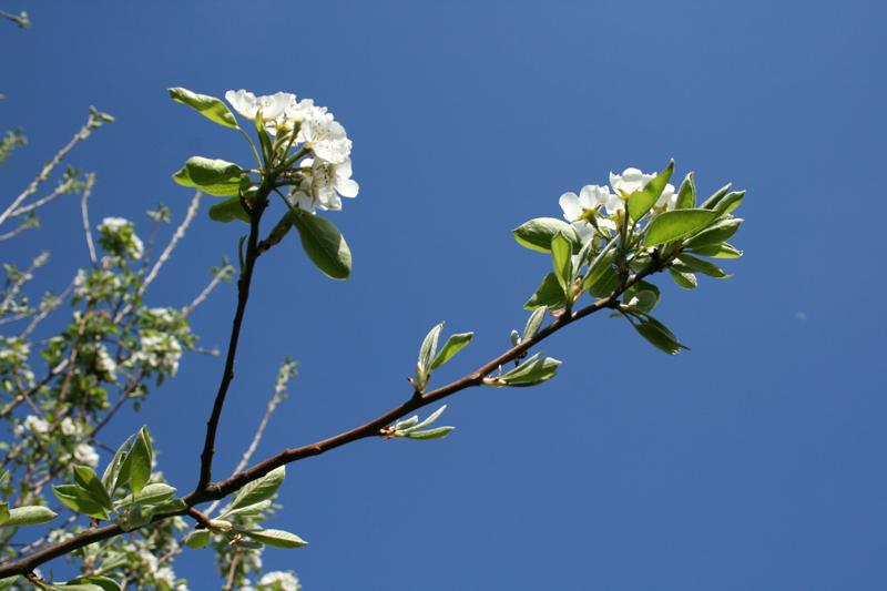 apfelblüte02