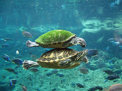 Turtles (meeko_) Tags: africa fish animals gardens tampa underwater florida turtle explore edge themepark buschgardens attraction busch buschgardenstampa buschgardensafrica buschgardenstampabay edgeofafrica