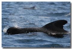 Globicephala macrorhynchus (PedroMadruga) Tags: ocean sea wild mammal dolphin wildlife pico d200 azores aores golfinho cetaceo cetacean peixeboi openocean pedromadruga southofpico suldopico baleiapiloto