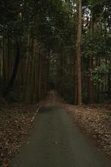 SDIM0234 (ketou-daisuki) Tags: road tree sigma fallingleaves ceder dp1 cryptomeriajaponica sigmadp1