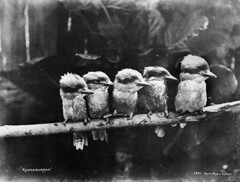 Kookaburras (Powerhouse Museum Collection) Tags: baby bird birds fauna photo eyes babies branch o 5 five sydney beak feathers profiles australia aves photographic kerry collection photograph pajaros repetition kingfisher perch grupo laughter oiseau kookaburra tyrell oiseaux powerhousemuseum cocteautwins quintet plumage beaks ibon babybirds kookaburras dacelo uccellini glassplatenegative cuteoverload lookatthoseeyes 3521 xmlns:dc=httppurlorgdcelements11 ornthology taxonomy:genus=dacelo dc:identifier=httpwwwpowerhousemuseumcomcollectiondatabaseirn28382 welldone123 kerryphoto noiretblancoisillon commons:event=commonground2009 littlewindowstotheirbirdiesouls