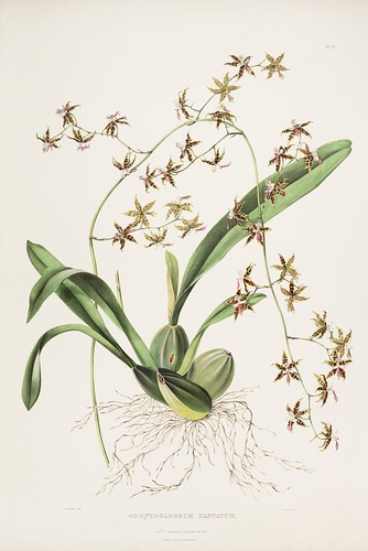 Odontoglossum hastatum - The Orchidaceae of Mexico and Guatemala