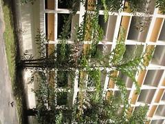 normanbya_normanbyi (rhmn) Tags: palms singapore plans ideas landcaping normanbya normanbyi
