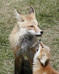 Fox Vixen & Kit - Karns Meadow, Jackson, WY (Dave Stiles) Tags: explore fox redfox vulpesvulpes naturesfinest foxcub jacksonwy foxkit specanimal foxvixen karnsmeadow vosplusbellesphotos