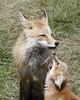 Fox Vixen & Kit - Karns Meadow, Jackson, WY (Dave Stiles) Tags: explore fox redfox vulpesvulpes naturesfinest foxcub jacksonwy foxkit specanimal foxvixen karnsmeadow vosplusbellesphotos