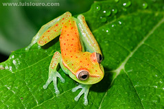 Spotted tree frog (Lus Louro) Tags: orange macro nature colors animals closeup forest ecuador nikon rainforest wildlife small amphibian frog jungle planet anura specanimal specanimalphotooftheday specanimalphotoofthemonth topqualityimageonly luislouro