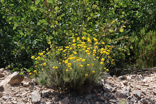 Helichrysum species