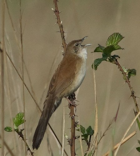 Fan-tailed Grassbird (Schoenicola brevirostris) by Alan Manson.
