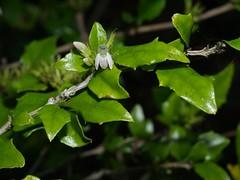 Graptophyllum spinigerum Acanthaceae (plant.nerd) Tags: plant rainforest australian acanthaceae graptophyllum australianrainforestplants qrfp graptophyllumspinigerum queenslandholly arfflowers whitearfflowers monsoonarf tropicalarf subtropicalarf dryarf samfordholly