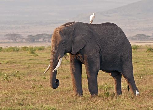 Elephant of Kilimanjaro