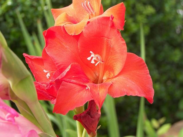 Gladiolus 010