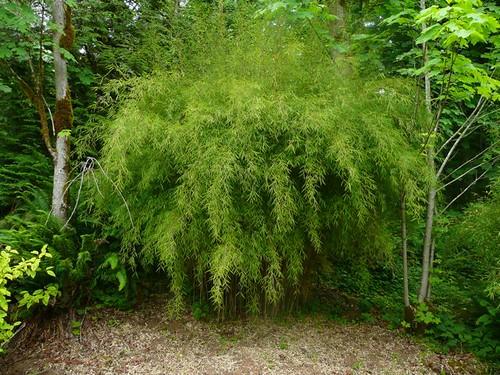 Bamboo (fargesia)