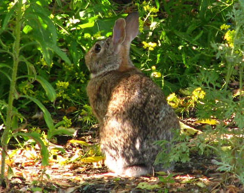 Point Douglas Bunny