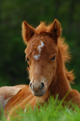 Shetland pony foal (Cinawa) Tags: horse cute d50 photography photo nikon sweet young picture pony shetland stallion equine equus foal poney ponny fohlen fl